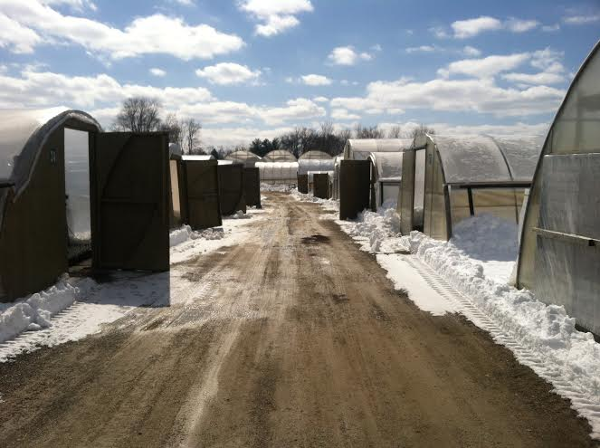 Snow cleared lane between greenhouses.