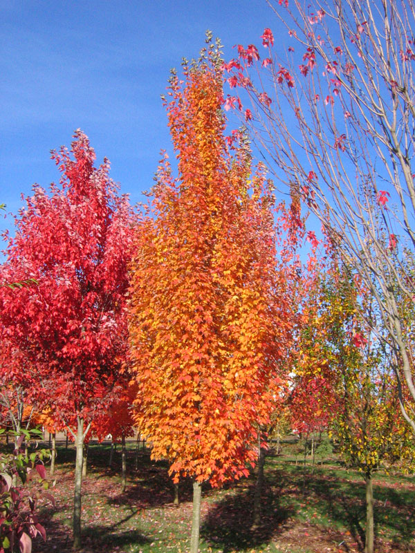 Acer Rubrum 'Armstrong Gold'