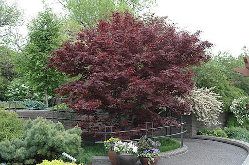 Acer palmatum var atropurpureum