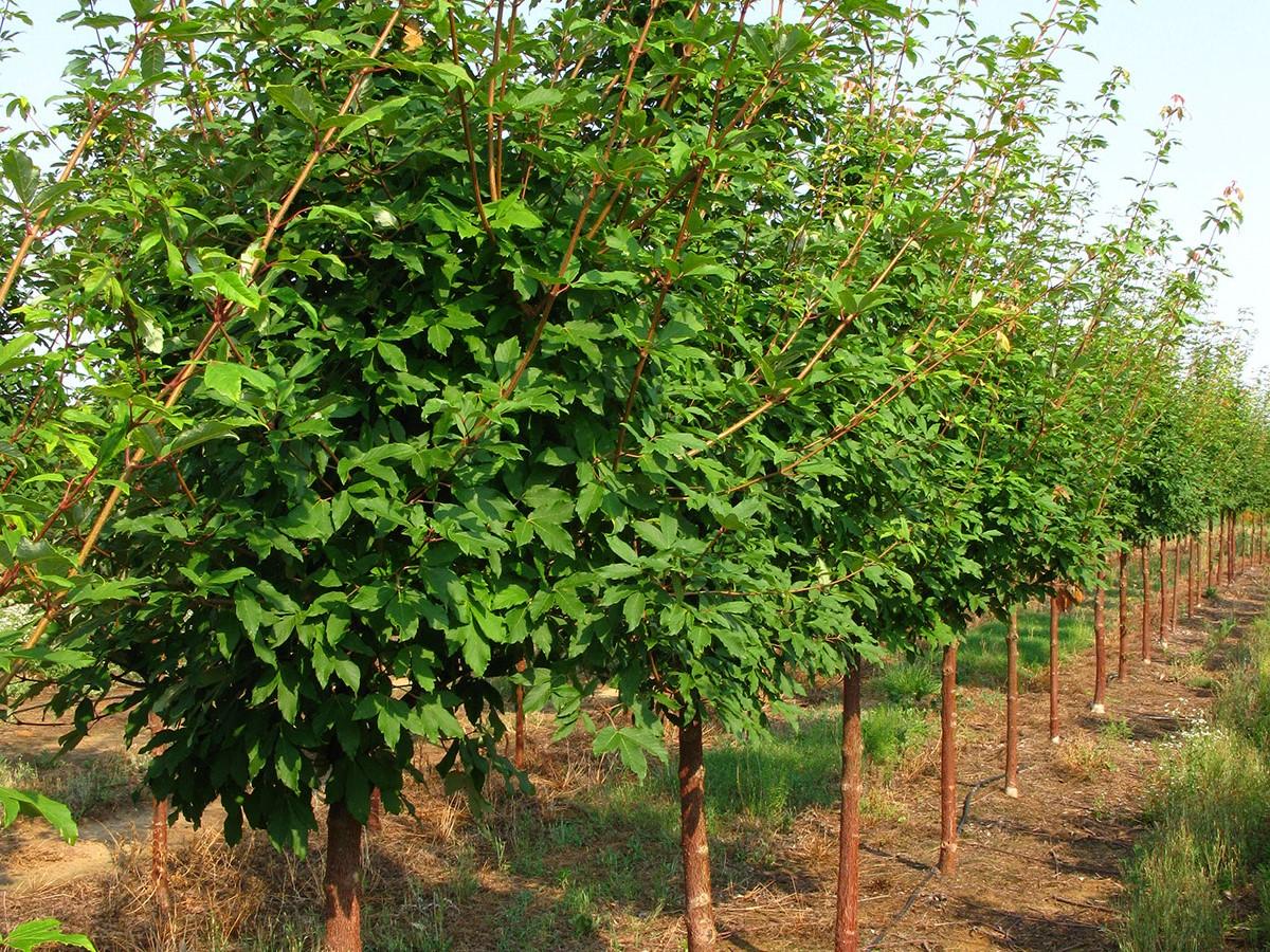 Acer griseum 'Cinnamon Girl'