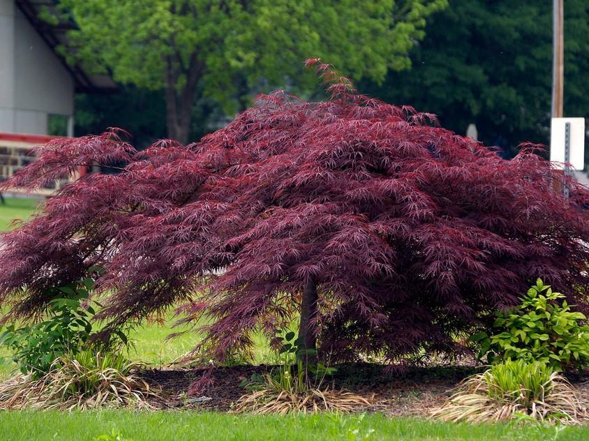 Acer palm. diss. 'Crimson Queen'