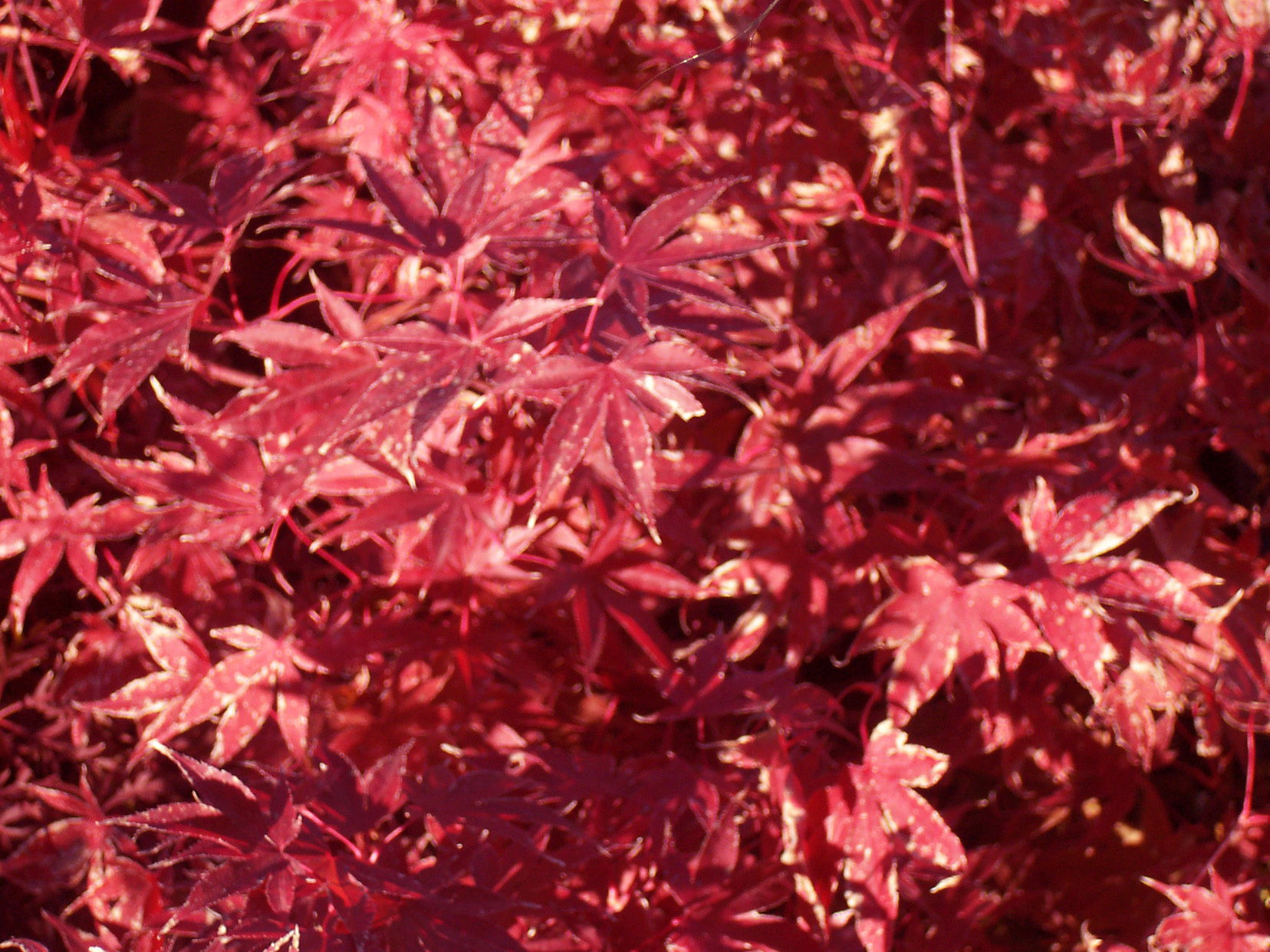 Acer palm. 'Fireglow'