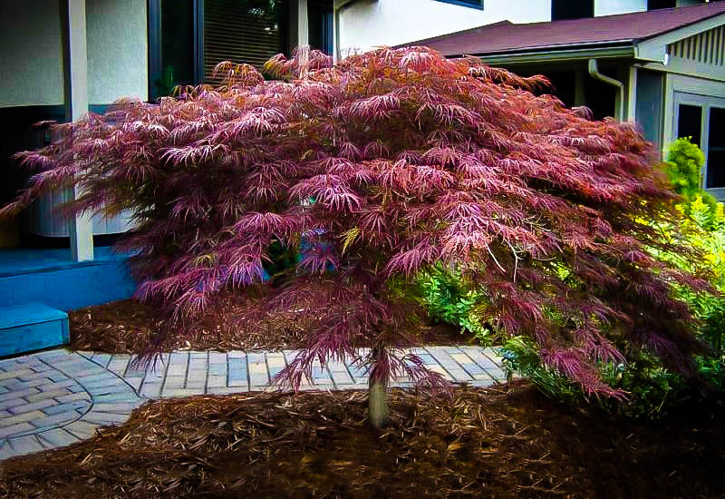 Acer palm. diss. 'Inaba Shidare'