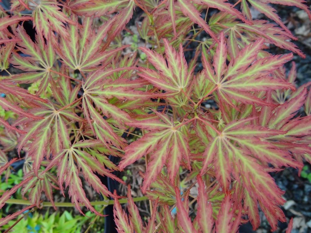 Acer palm. diss. 'Jeddeloh Orange'