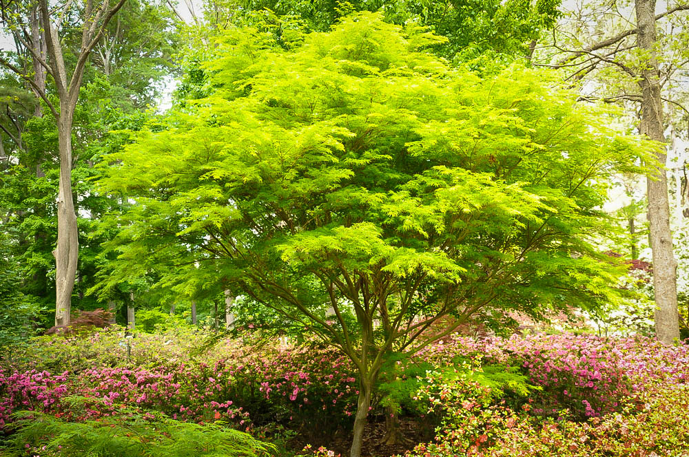Acer palm diss. 'Seiryu'