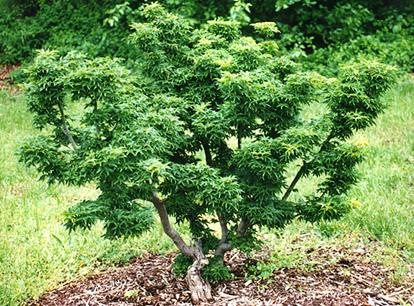 Acer palm. 'Shishigashira'