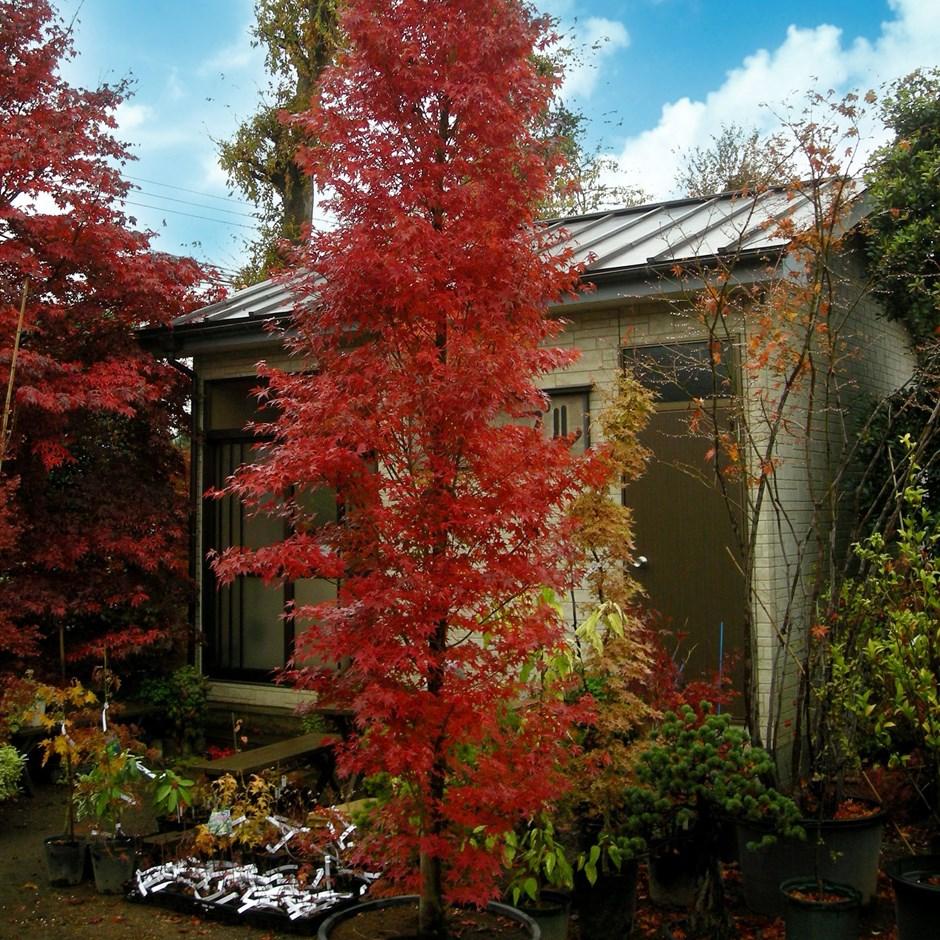 Acer palm. 'Tsukasa Silhouette'