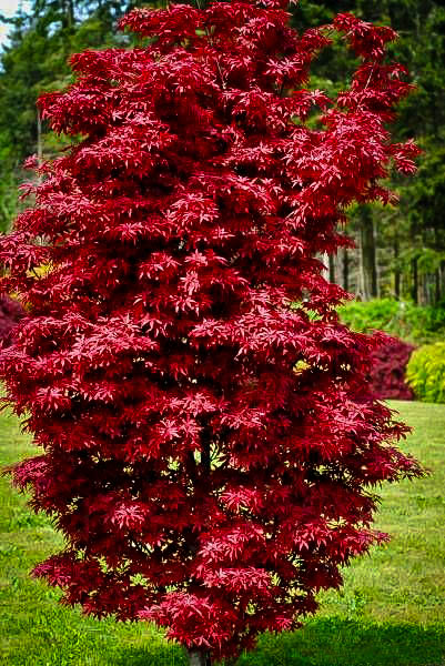 Acer p. 'Twombly's Red Sentinel'