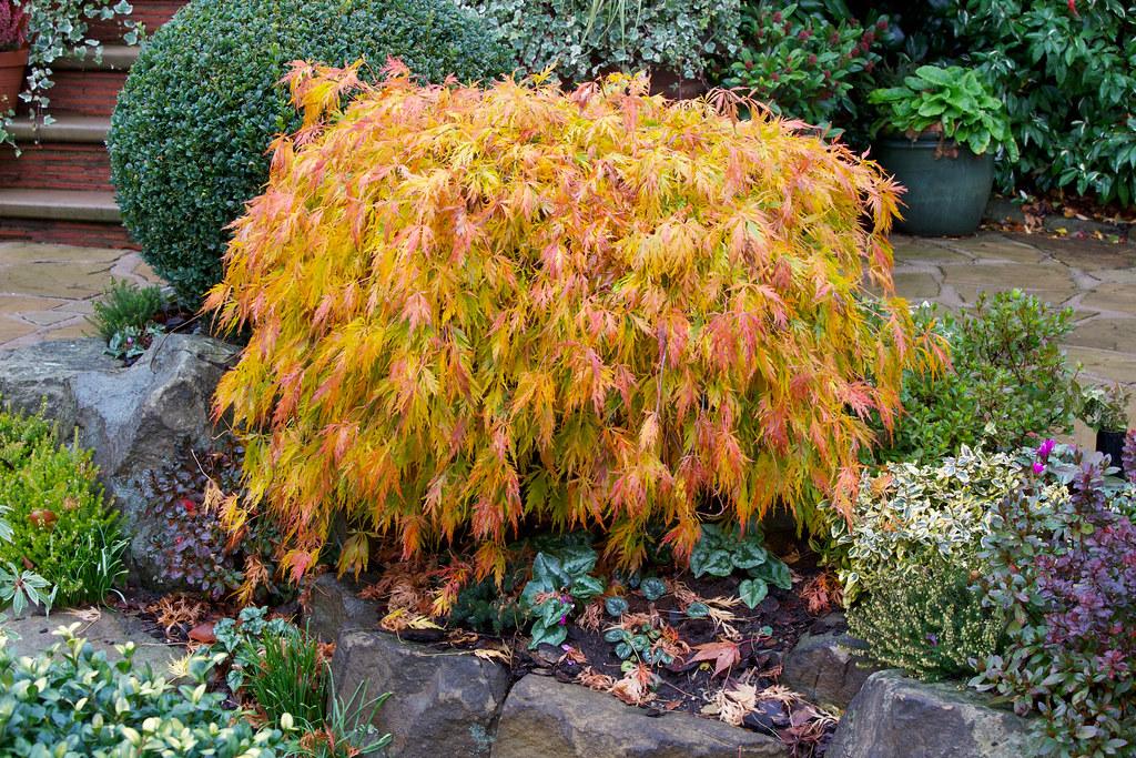 Acer palm. diss. 'Viridis'
