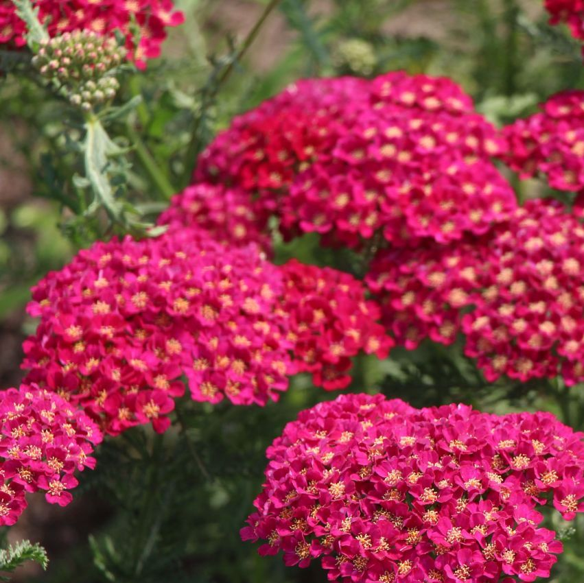 Achillea Pomegranate