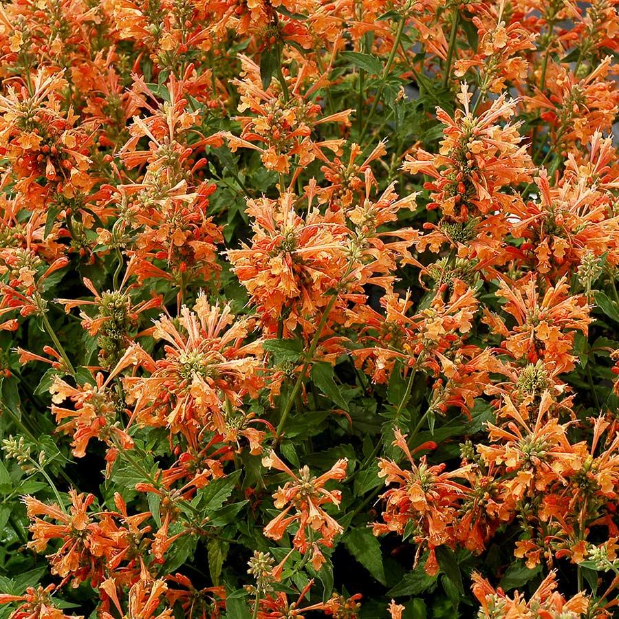 Agastache 'Poquito Orange'