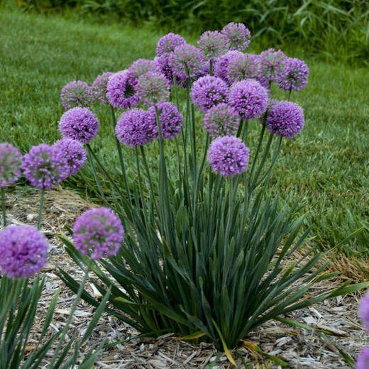 Allium 'Serendipity'