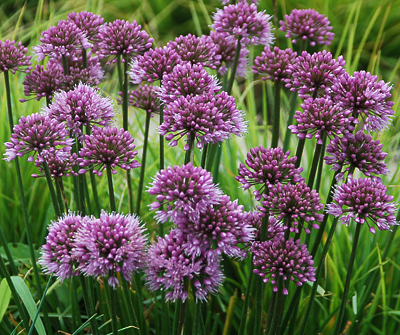 Allium 'Windy City'