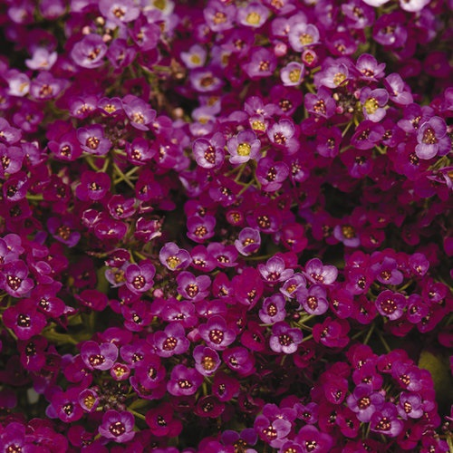 Alyssum Clear Crystals Purple
