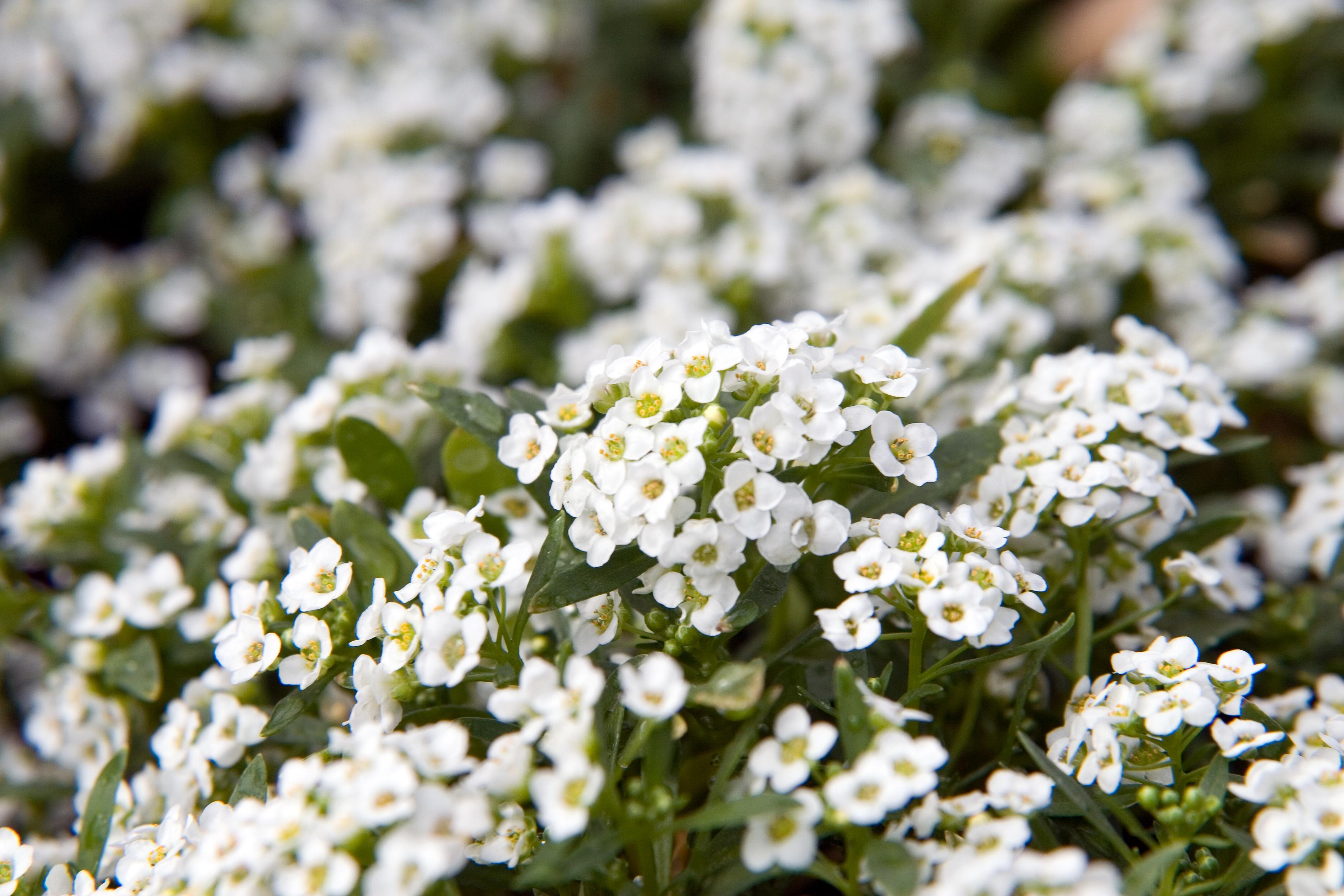 Alyssum Wonderland White