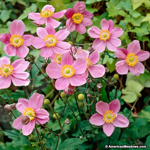 Anemone 'Lucky Charm'