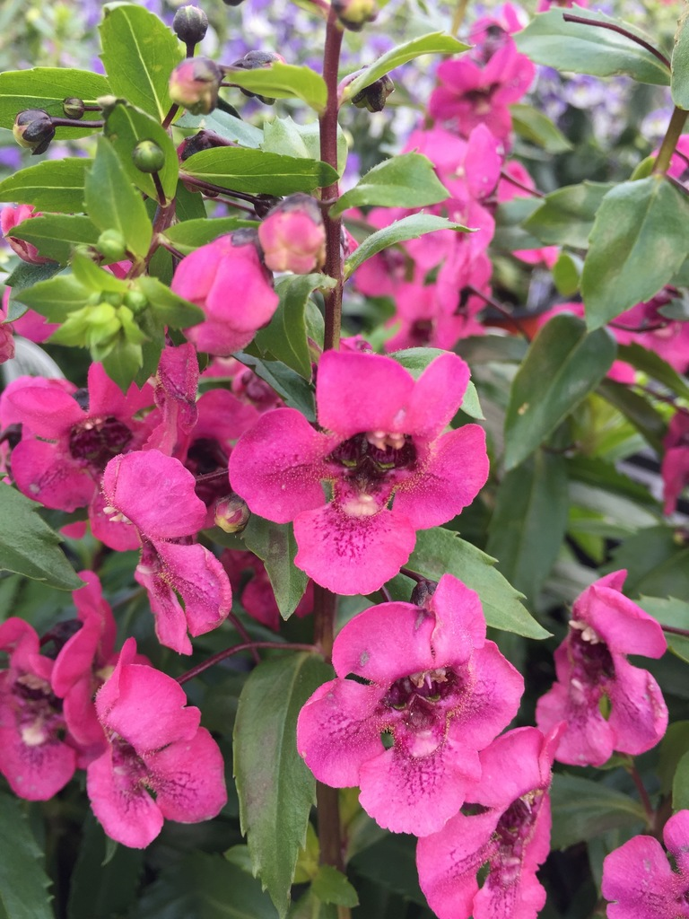 Angelonia Angelface 'Perfectly Pink'