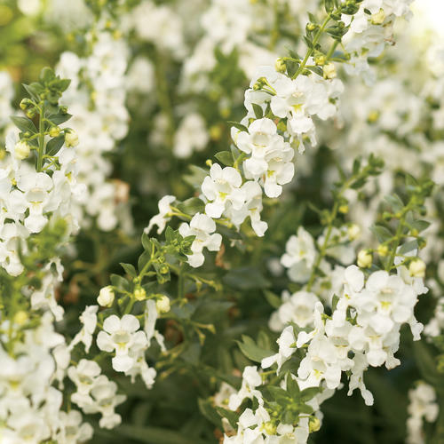 Angelonia Angelface Super White
