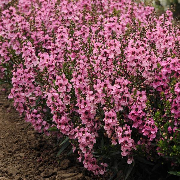 Angelonia Serenita Pink