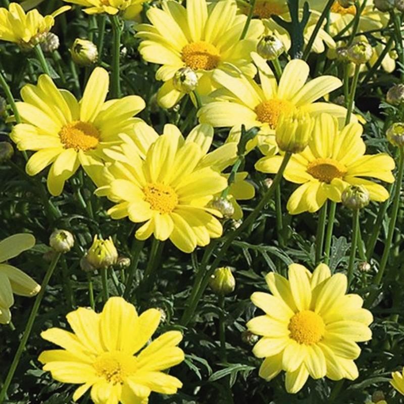 Argyranthemum 'Beauty Yellow'