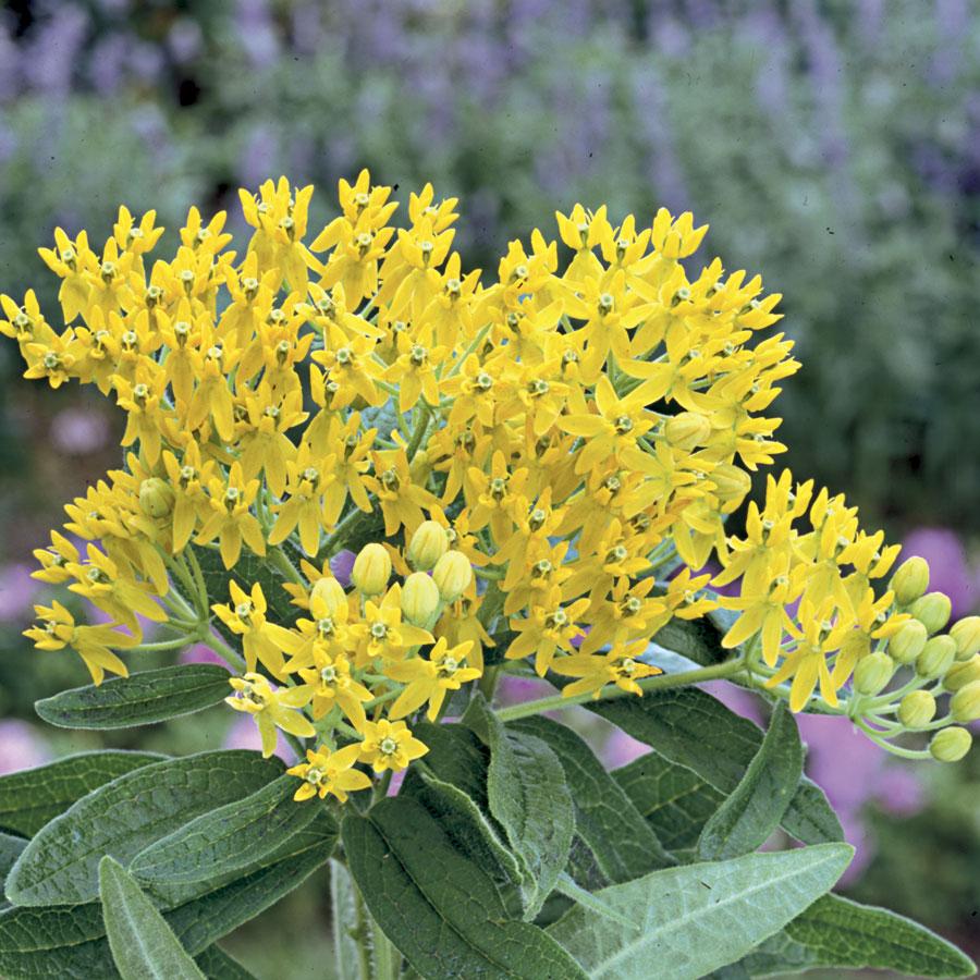 Asclepias t. 'Hello Yellow'