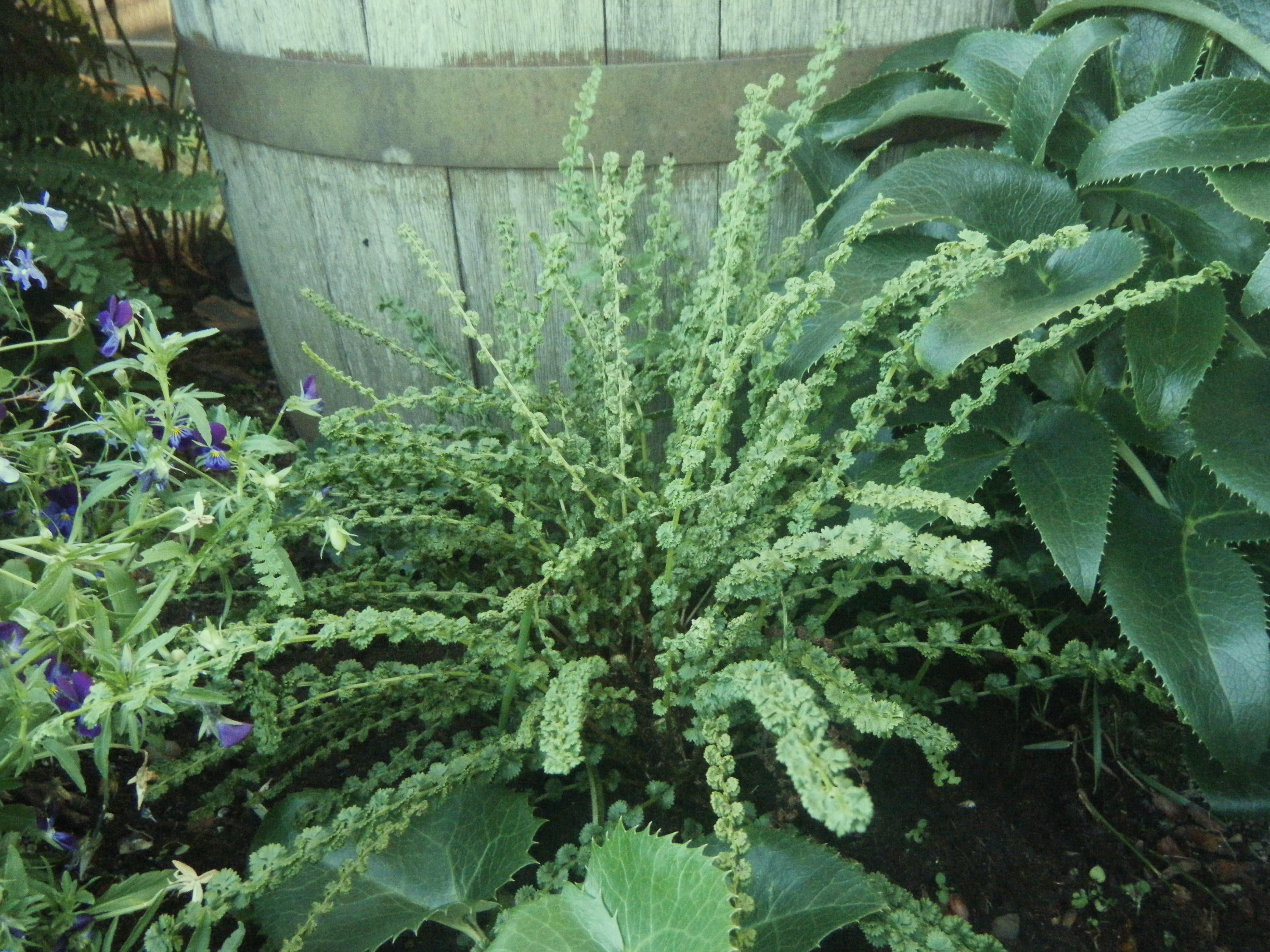 Athyrium f.f 'Frizelliae'