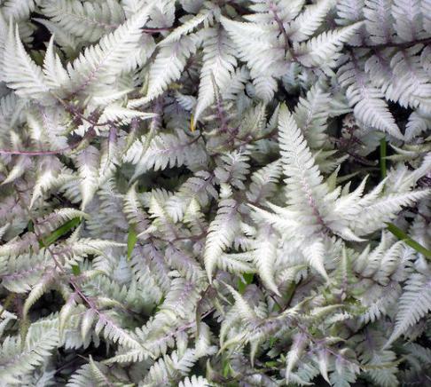 Athyrium 'Pearly White'