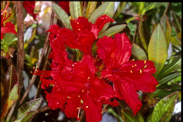 Azalea Dec. 'Molalla Red'