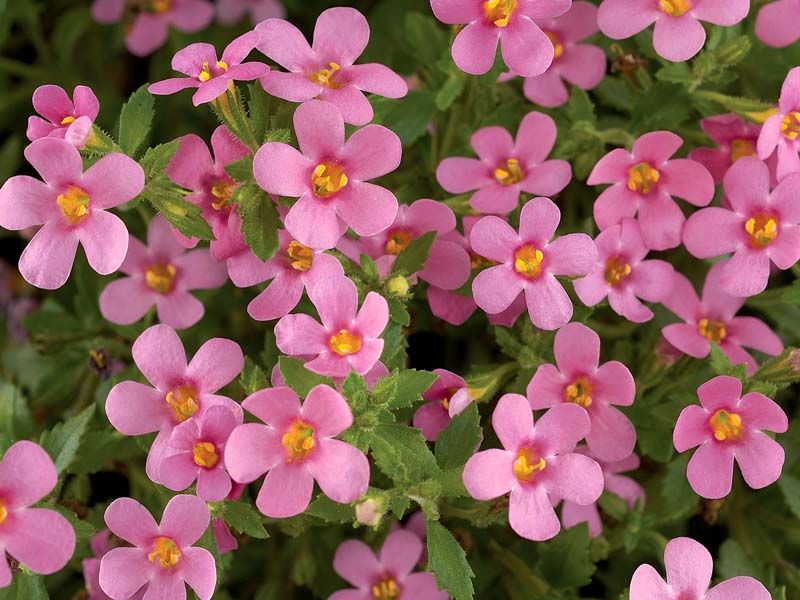 Bacopa Gulliver Pink