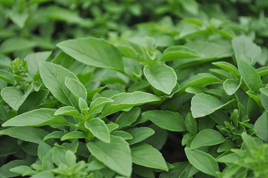 Basil - Ocimum basilicum 'Green Bouquet'