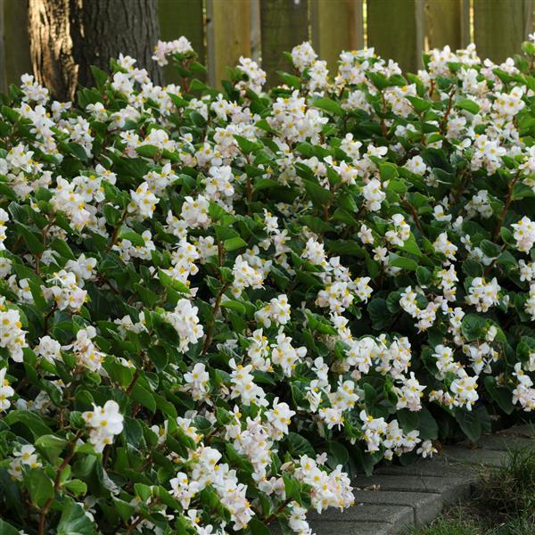 Begonia Baby Wing White