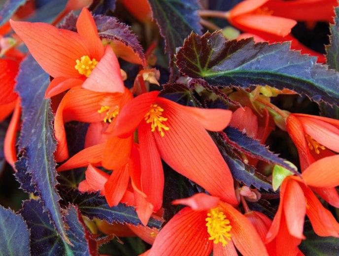 Begonia Bossa Nova 'Night Fever Papaya'