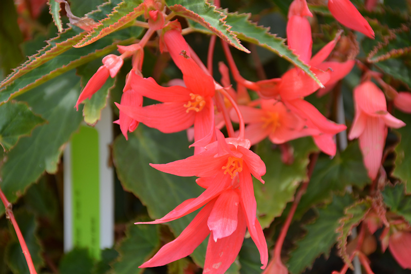 Begonia Bossa Nova 'Pink Glow'
