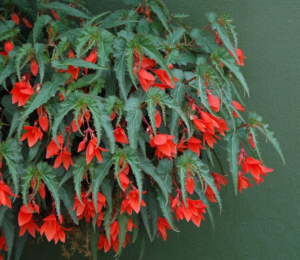 Begonia Bossa Nova Red