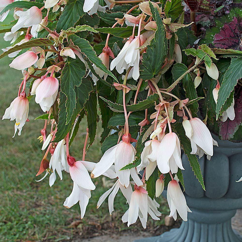 Begonia Bossa Nova White