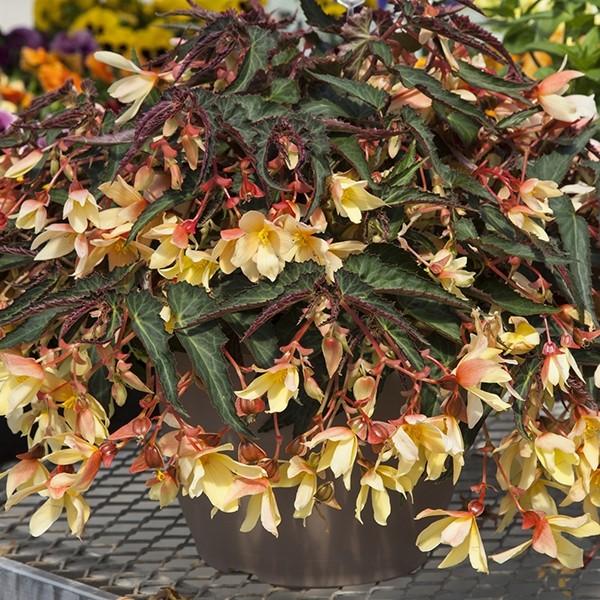 Begonia Bossa Nova Yellow