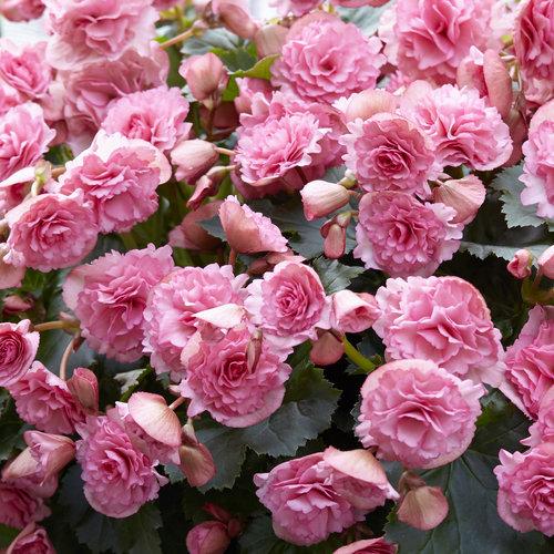 Begonia Frivola Pink