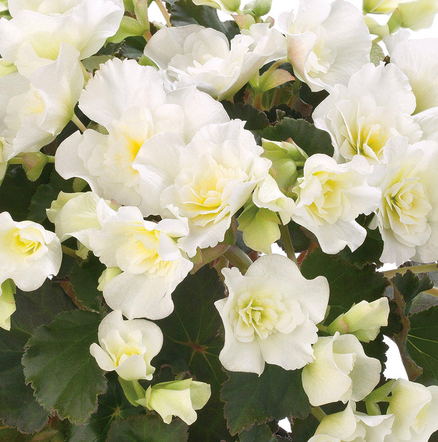 Begonia Hiemalis 'Glory' White