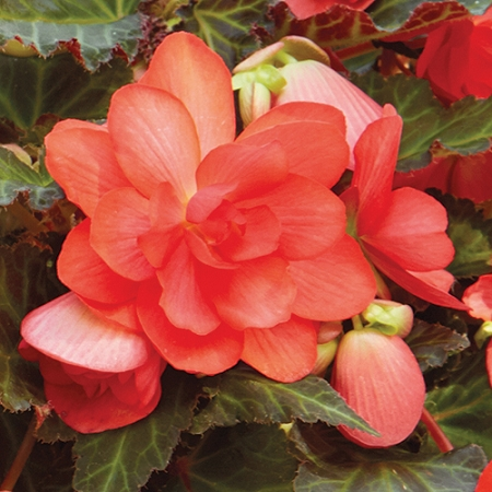 Begonia I'conia 'Miss Malibu'