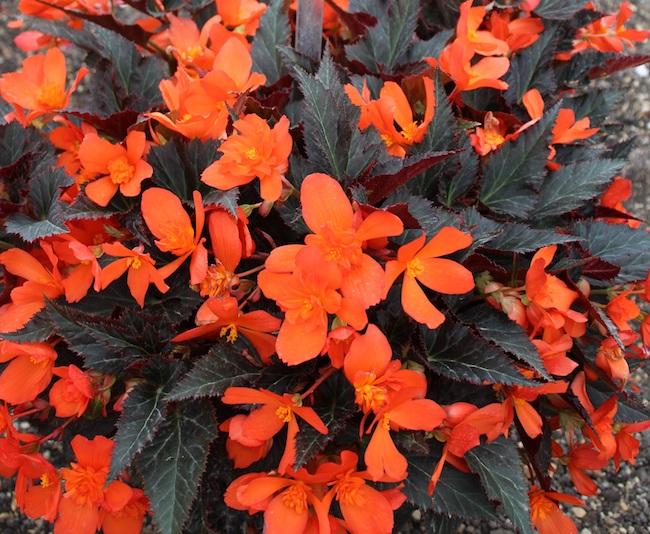 Begonia I'conia Upright 'Fire'
