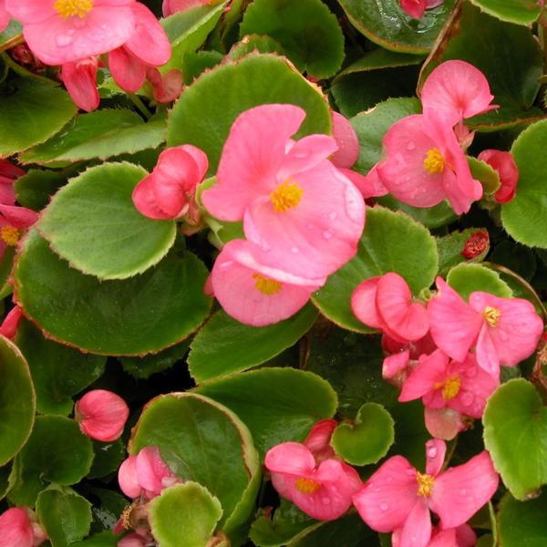 Begonia Olympia Super Rose