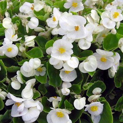 Begonia Olympia Super White