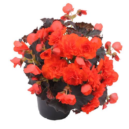 Begonia Chocolate Orange
