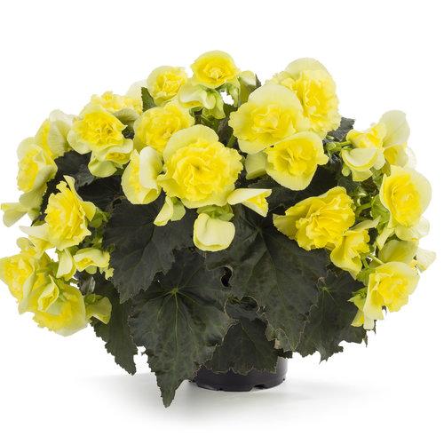 Begonia Solenia Yellow