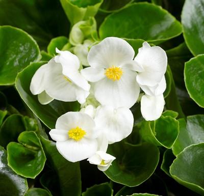 Begonia Topspin White