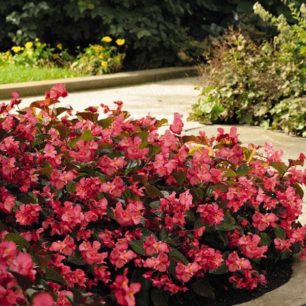 Begonia Whopper Bronze Leaf Rose