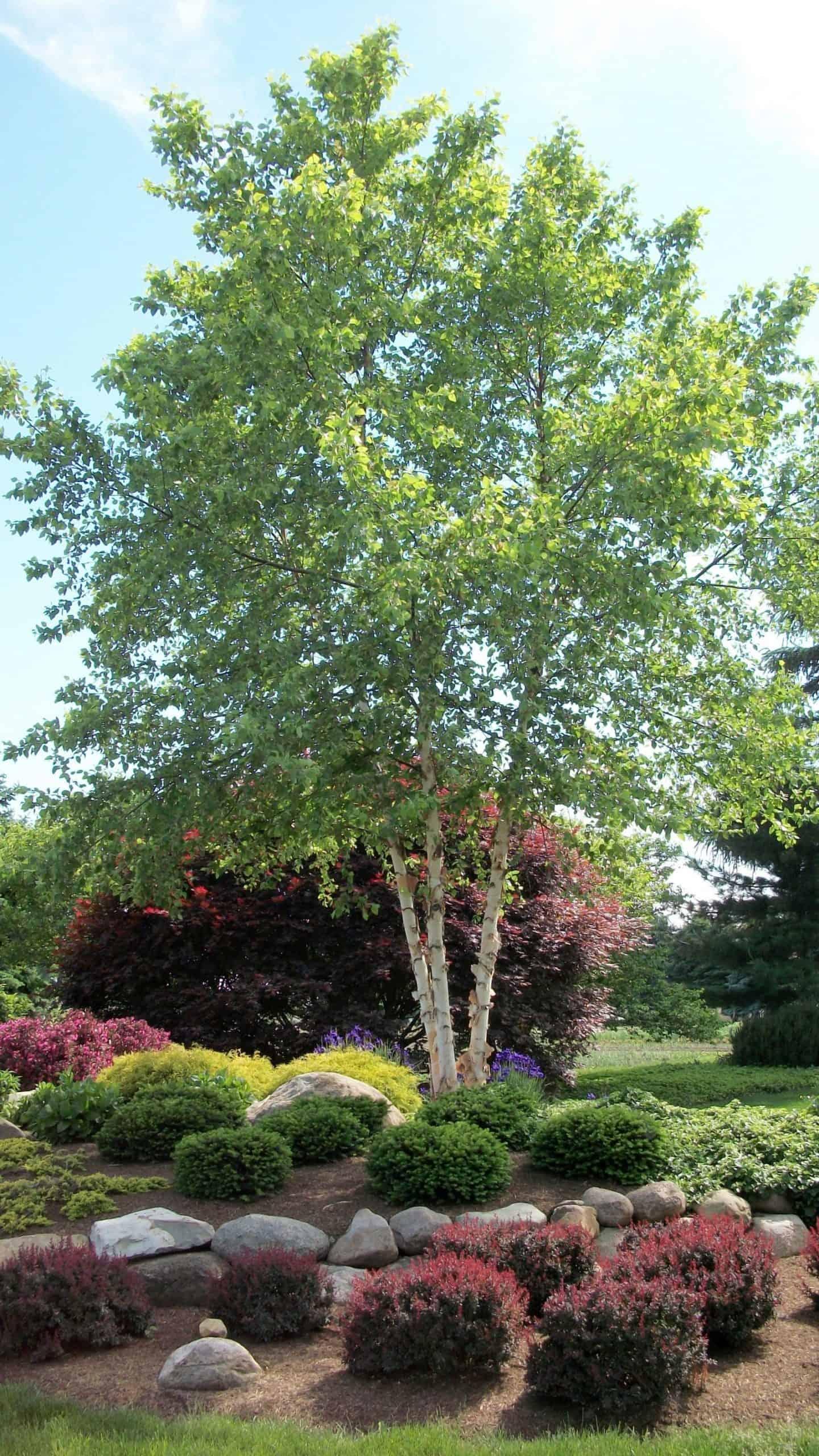 Betula nigra - Clump