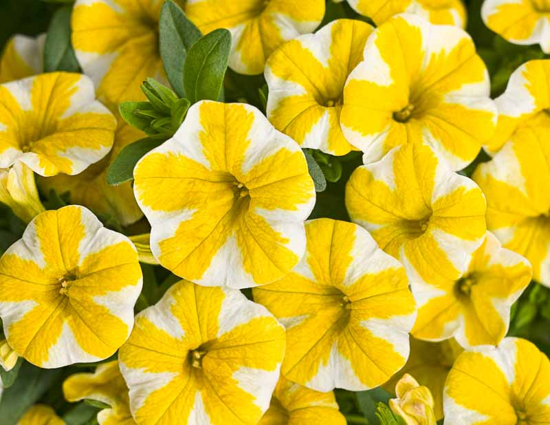 Calibrachoa Superbells 'Lemon Slice'