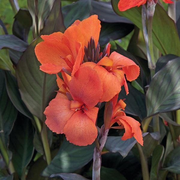Canna Cannova Bronze Orange