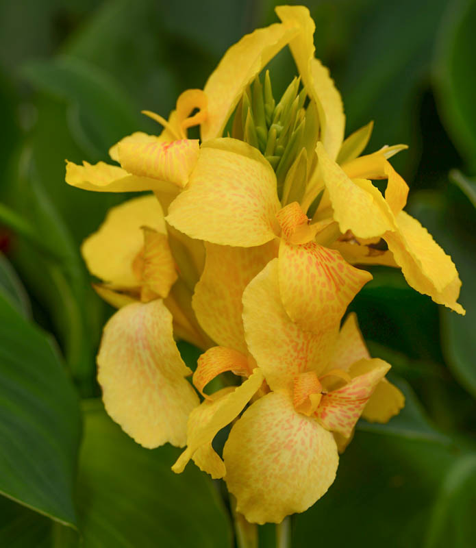 Canna 'Cannova Yellow'